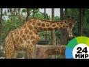 В Кении в смертельной схватке сошлись лев и жираф - МИР 24