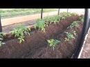 Первая подкормка и окучивание томатов открытого грунта. Для чего нужно окучиван...