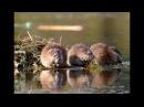 Разведение ондатры мускусной крысы как бизнес идея