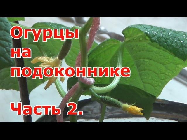 Огурцы на подоконнике 09 03 Подкормка подвязка ослепление Часть 2