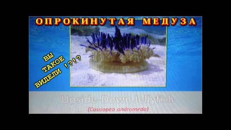 Медуза Вверх тормашками. Upside-Down Jellyfish. (Cassiopea Andromeda)