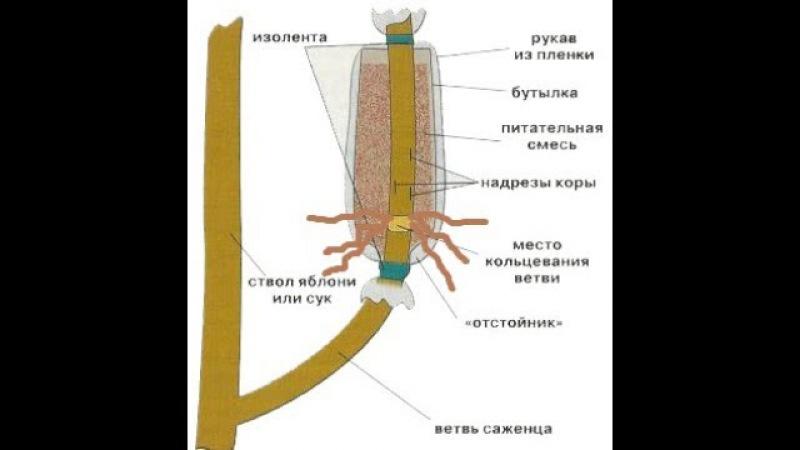 Воздушные отводки - метод размножения деревьев
