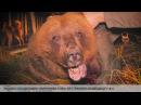 Рядом с кладбищем «Миронова гора» отстрелили медведицу (18+)