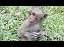 Poor baby monkey young mother monkey pigtail monkey eating lotus fruit