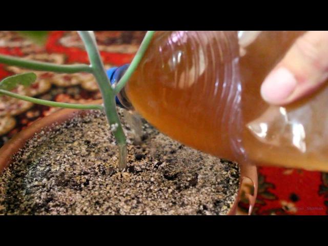 МГДР (Argyreia nervosa) №08: Последствия дырок и хлороза листьев. Удобряю