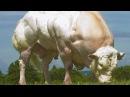 ANIMAL PHARM INSIDE GMO TRANSGENICS AND CLONING