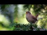 О чём поют птицы?