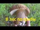 Сбор грибов 3 Лисички Белые грибы Подберёзовики Лес Жизнь в деревне
