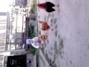 малыш кормит курочек