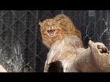 Раненого дальневосточного лесного кота спасли в Приморье