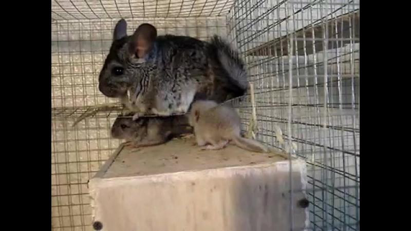 Шушун и его семейство