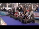 International Dog Show RUSSIA 2017 Yorkshire Terriers