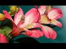 Как сделать красивый букет из перуанской лилии