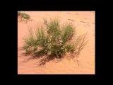 Температурные адаптации растений. Жаровыносливые растения