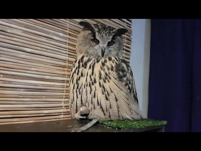 Просто сова сидит на жопке и говорит