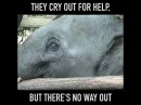 НЕ катайтесь на слонах. Слонят похищают из стада и пытают, ломая волю, чтобы приучить катать туристов Baby Elephants Are KIDNAPPED so That Tourists Can Ride Them