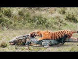 POWER Of The TIGER the Strongest Big Cat in the World