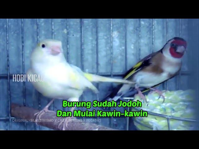 Ternak Silang European Goldfinch x Kenari Hasilkan Burung Gacor