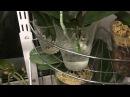 Наращиваем корни орхидей в воде, мой опыт.