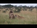 Lioness desperately trying to protect her cubs against nomadic male lions