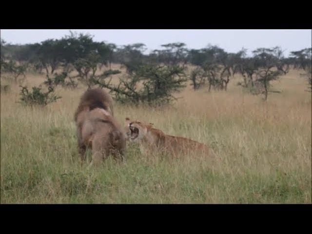 Lioness desperately trying to protect her cubs, against nomadic male lions.