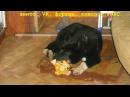 Выбор щенка лайки- где искать щенков, критерии, цена