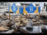 Пирс 39 - Морские львы