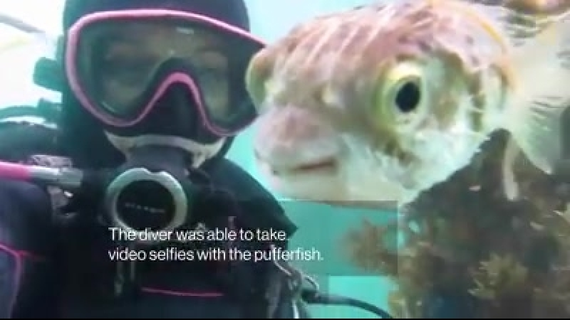 Pufferfish and Diver Friendship