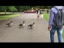 Бесстрашные утки в Royal Botanic Gardens Kew