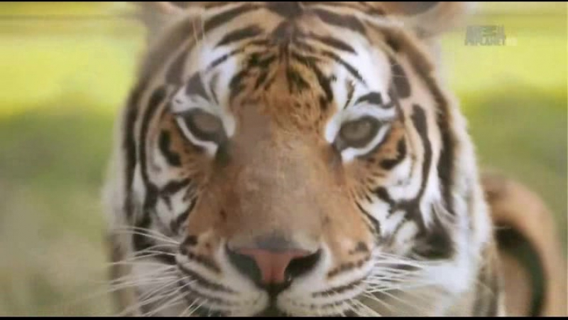 Animal Planet. Человек и львы (Джабула заказник больших кошек) / The Lion Man: Jabula Big Cat Sanctuary / 2014 / 1