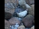 Seal colony in Revenscar