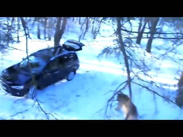 Медведь угнал машину