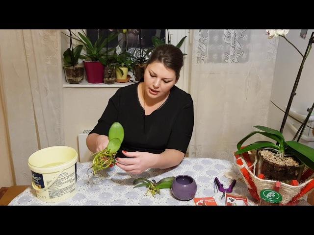 Азиатские орхидеи. Первые шаги после покупки. Подготовка к пересадке!