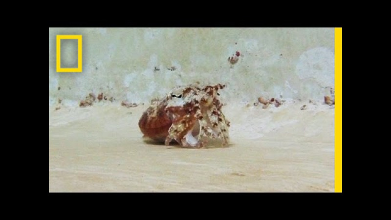 This Sea Creature Does an Awesome Hermit Crab Impression | National Geographic