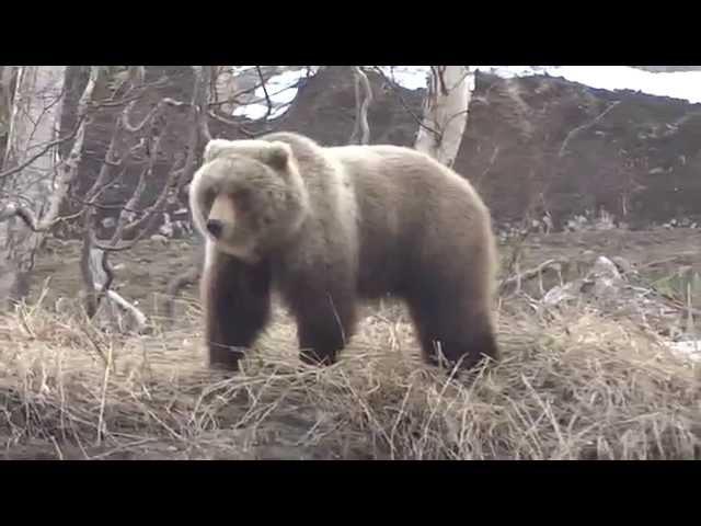 медведь и собака. Камчатка,Россия ( bear and dog. Kamchatka, Russia )