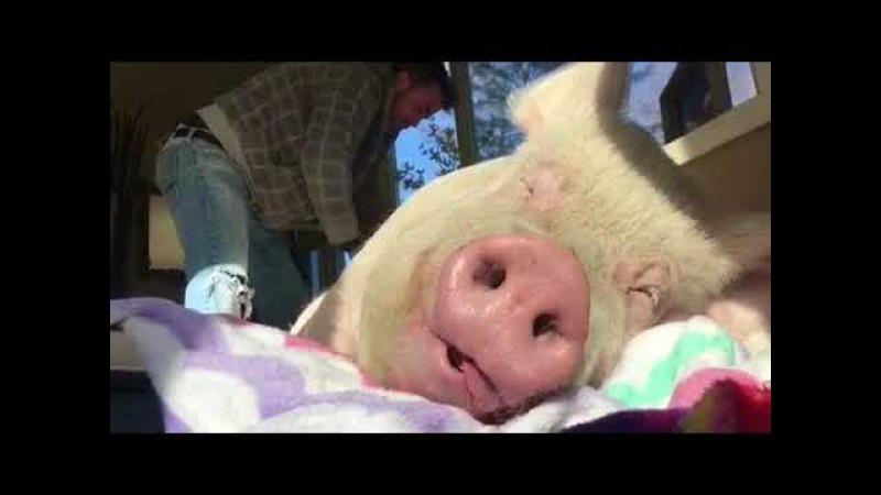 Свинья кайфует когда ее чешут.