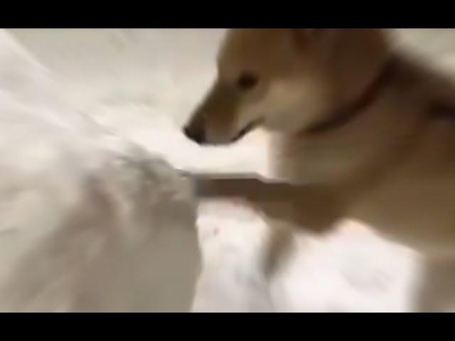 DOGGO DIGGING AT INCREDIBLY HIHG SPEED!1