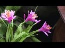 DIY - How to make Rain lily flower by crepe paper Làm hoa huệ mưa bằng giấy nhún