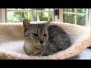 Cats 101 Animal Planet - Egyptian Mau High Quality