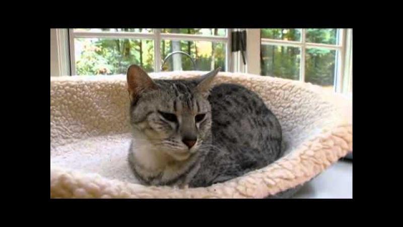 Cats 101 Animal Planet - Egyptian Mau ** High Quality **