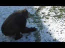 Gorilla Asante Loses Some Of Her Snow To Lope And Ozala