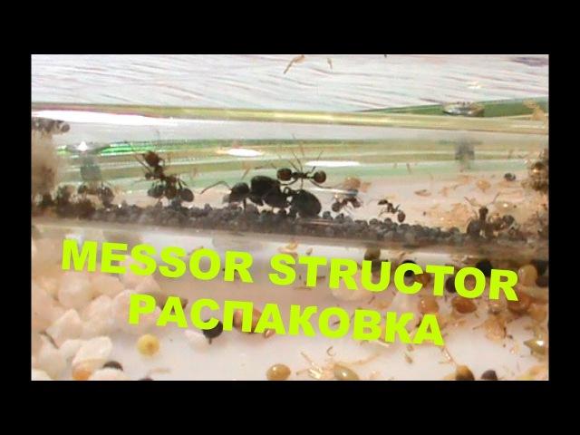 Муравьиная ферма, Messor structor. Распаковка и заселение.