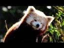 Красная панда - чудный зверек