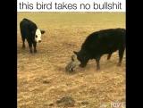 Гусь...против быков.Когда задняя не включается....