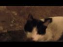 Чёрно-белый кот.