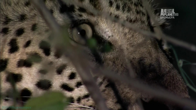 «Бойцовский клуб для леопарда» (Документальный, природа, животные, 2013)