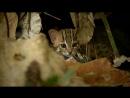 Самый милый котик канал BBC показал редкие кадры из жизни самых маленьких кошек в мире