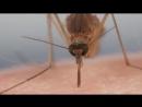 Комары пьют