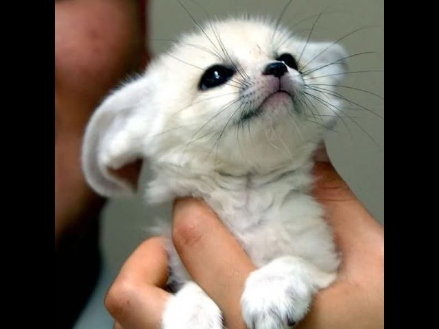 Fennec fox compilation - Funny and Cute fennecfoxes