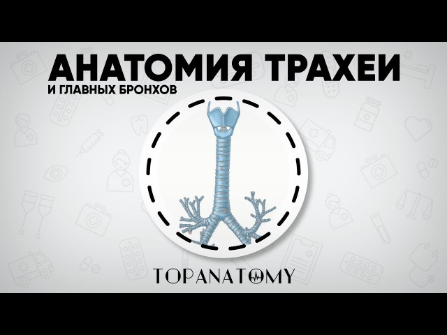 Анатомия трахеи и главных бронхов